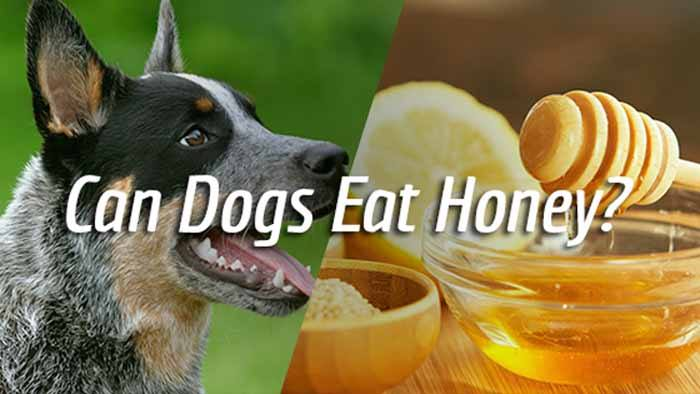 Orijen Dog Food Reviews >> Can Dogs Eat Honey? Is it Safe for Your Dogs? | ThePetAdvice
