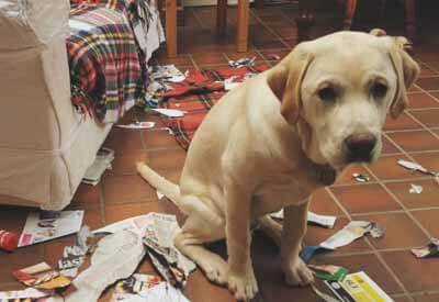 Dog Destructive Behavior Thepetadvice